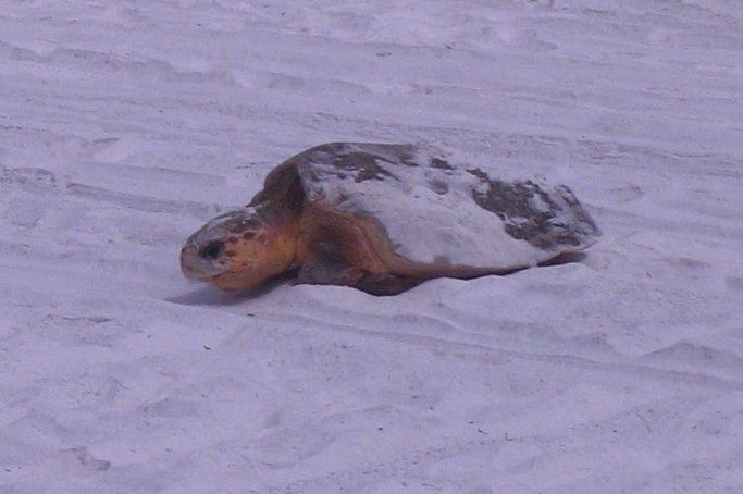 sea turtle in florida