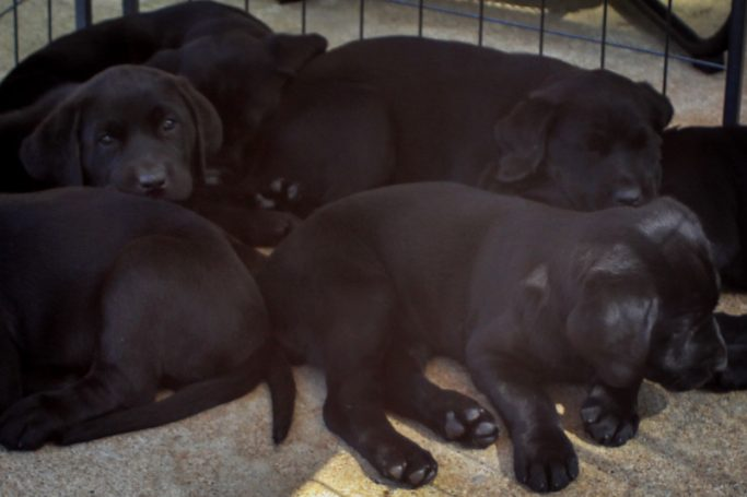 training canines - puppies of Cedar Valley Canine