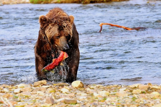 salmon fishing with brown bears in alaska