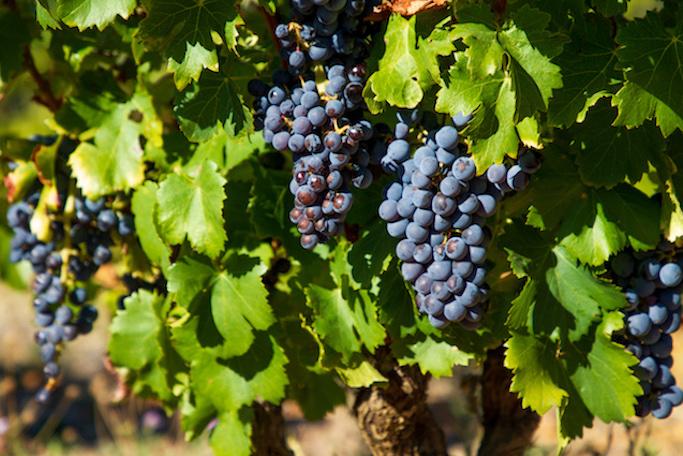 V is For Vino Vineyards